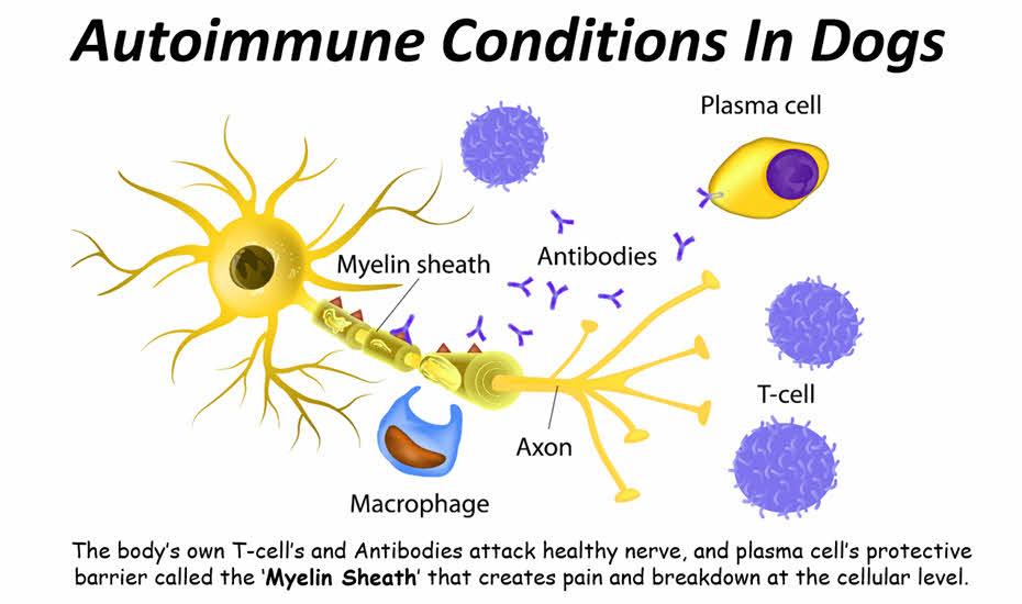 Autoimmune In Dogs Eyes