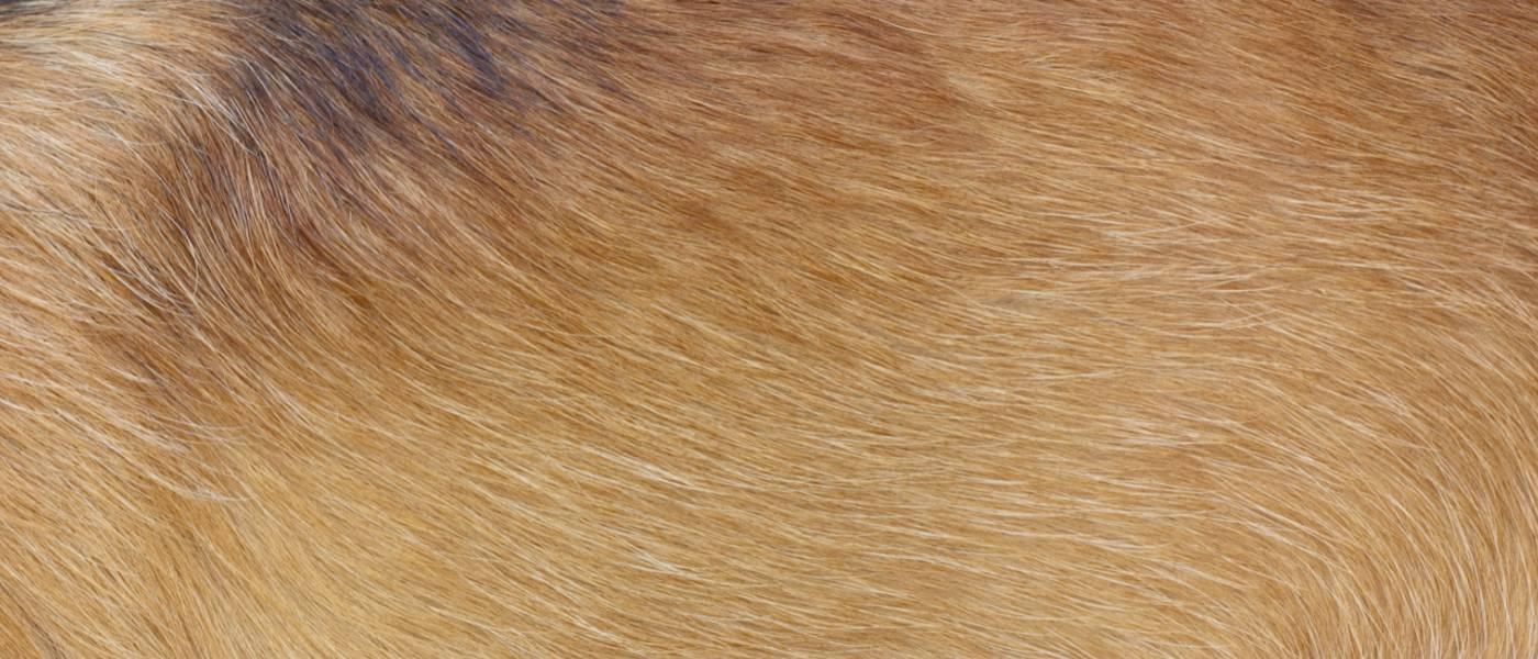 Dog Skin & Coat Health