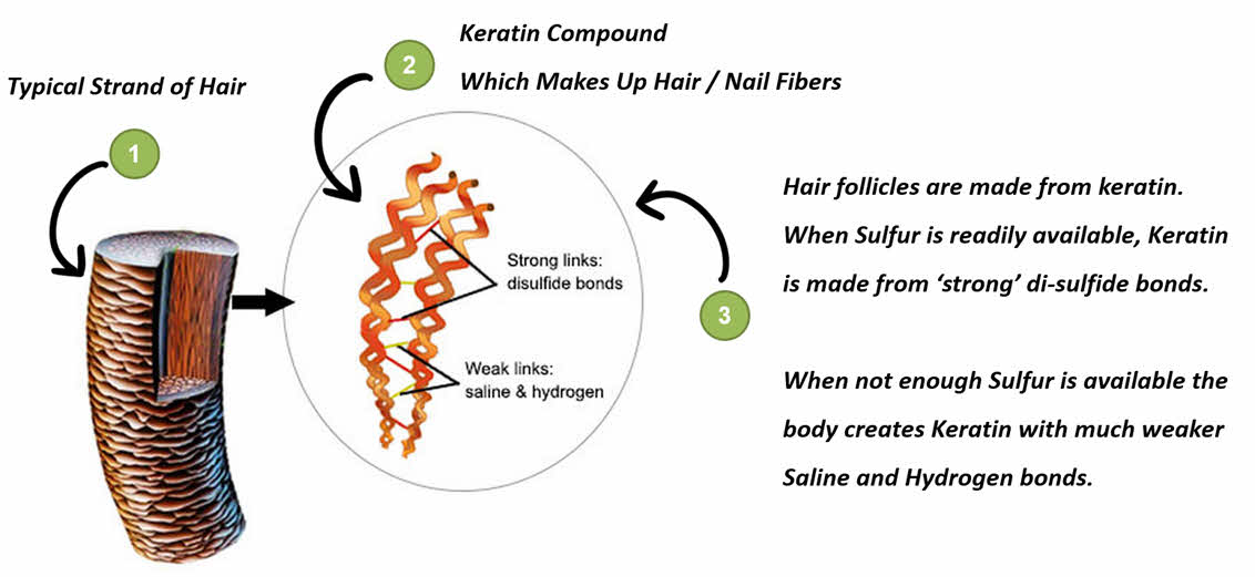 How MSM helps to grow hair via keratin production.