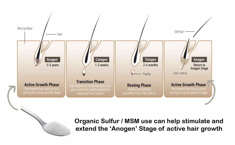 MSM and the Anogen Hair Growth Phase