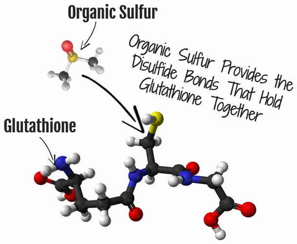 Organic Sulfur is needed for glutathione production